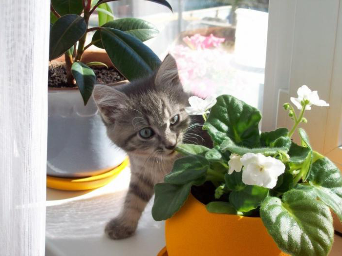 Комнатные цветы могу представляют угрозу для вашей кошки
