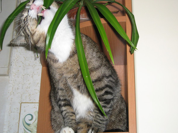 Кот ест комнатные цветы