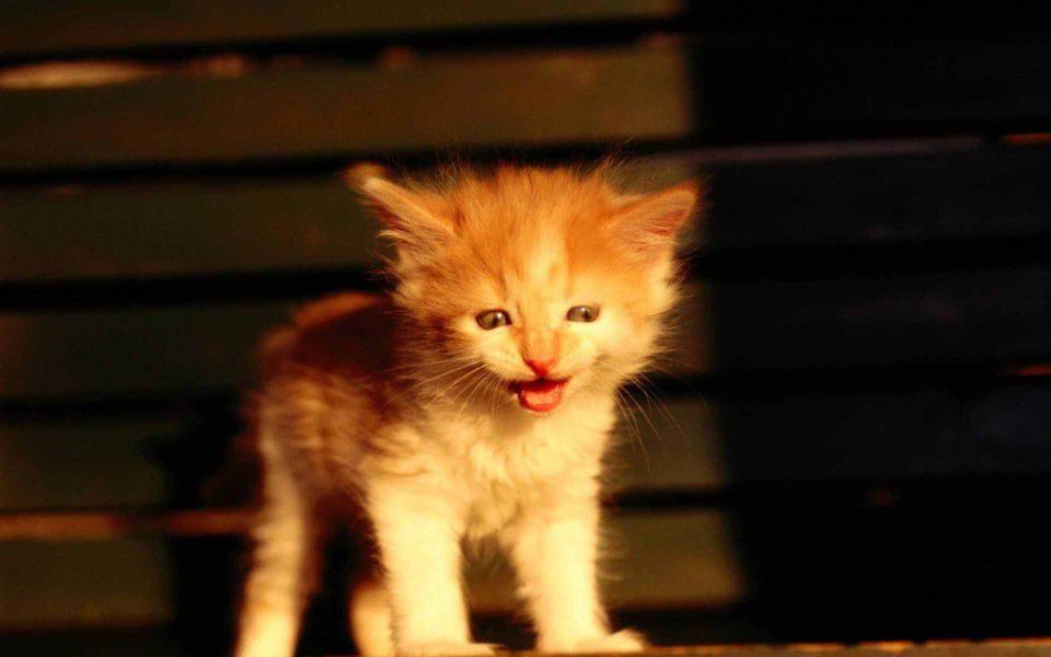 Что делать если котенок мяукает
