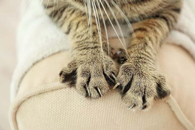 когти у кошки