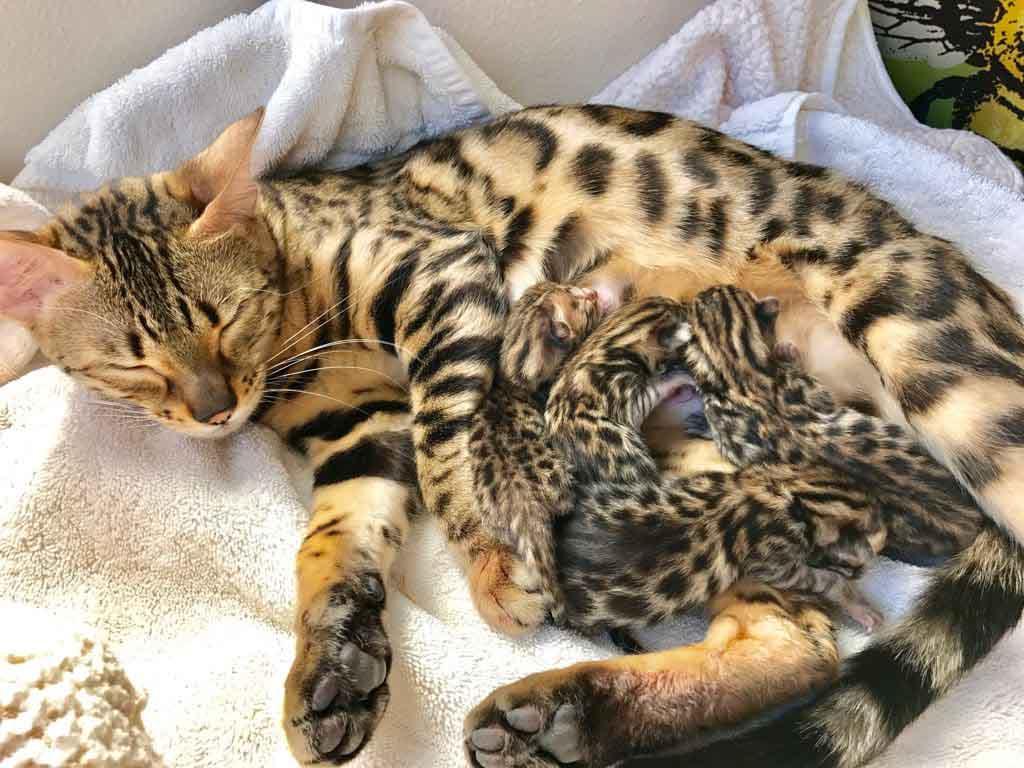 Как понять что у кошки начались роды и как их принять
