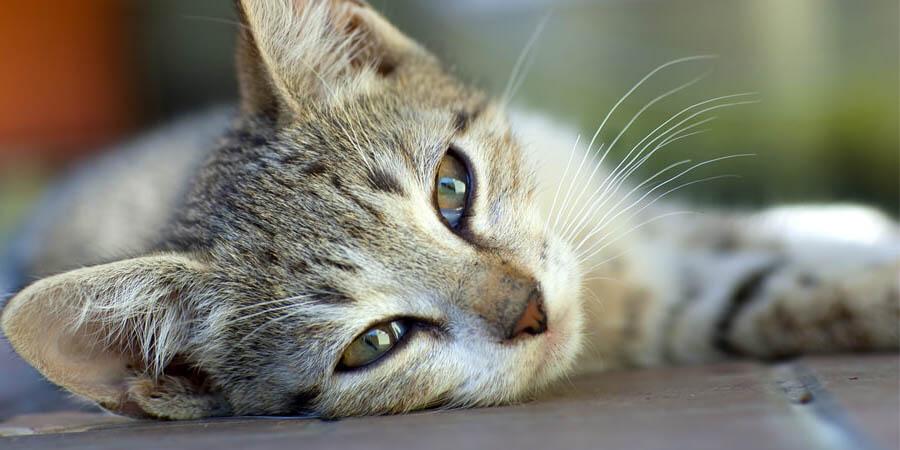 мочекаменная болезнь у кошки