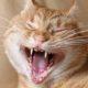 как почистить зубы у кошки