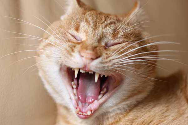 Как чистить зубы кошке в домашних условиях