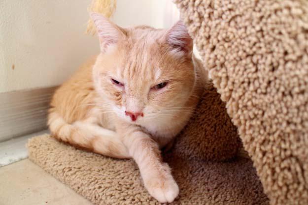 Чума панлейкопения у кошек