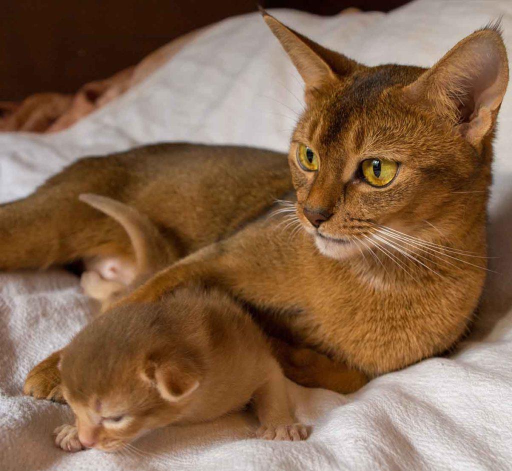 абиссинская порода кошек