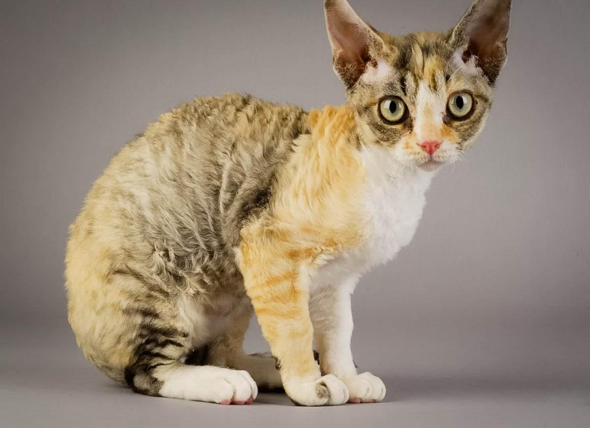 Немецкий рекс 🐈 фото кошки, история и описание породы, характер, уход