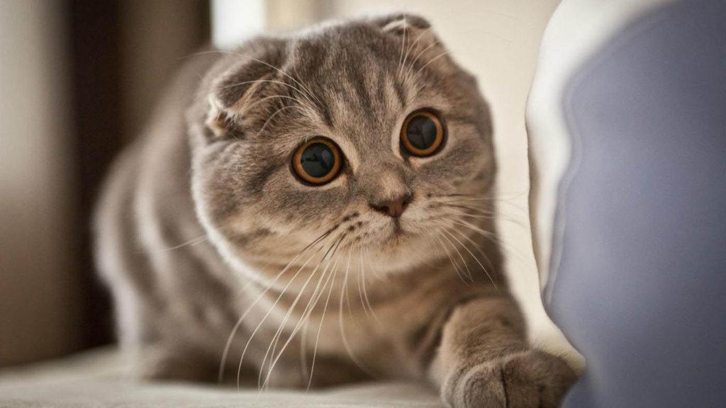 сколько длится течка у кошек шотландской породы