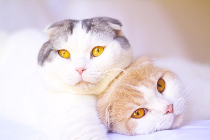 разведение шотландских кошек