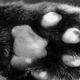 Кошачья лапа