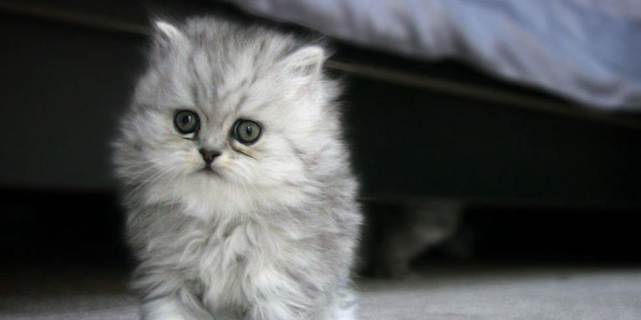 котенок перс
