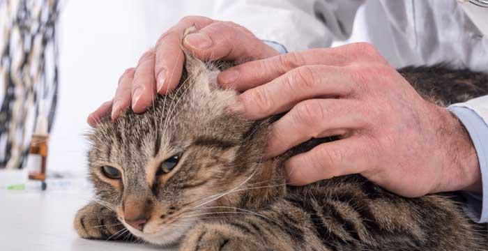 чистка ушей у кошки