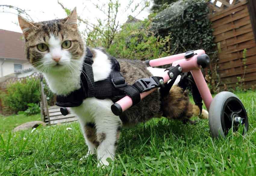 Отказали задние ноги у кота