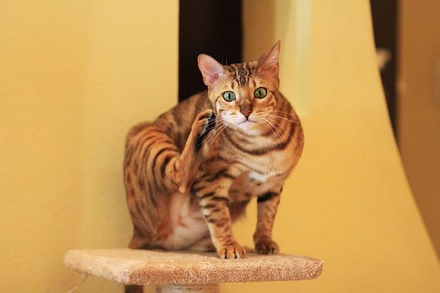 Что делать, если кот расчесывает кожу до крови?