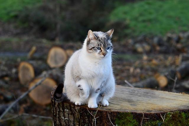 Кот при ходьбе приседает на задние лапы