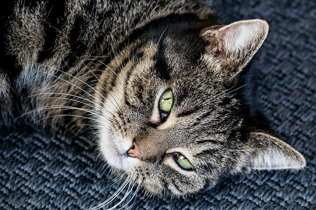 Пиелонефрит почек у кота