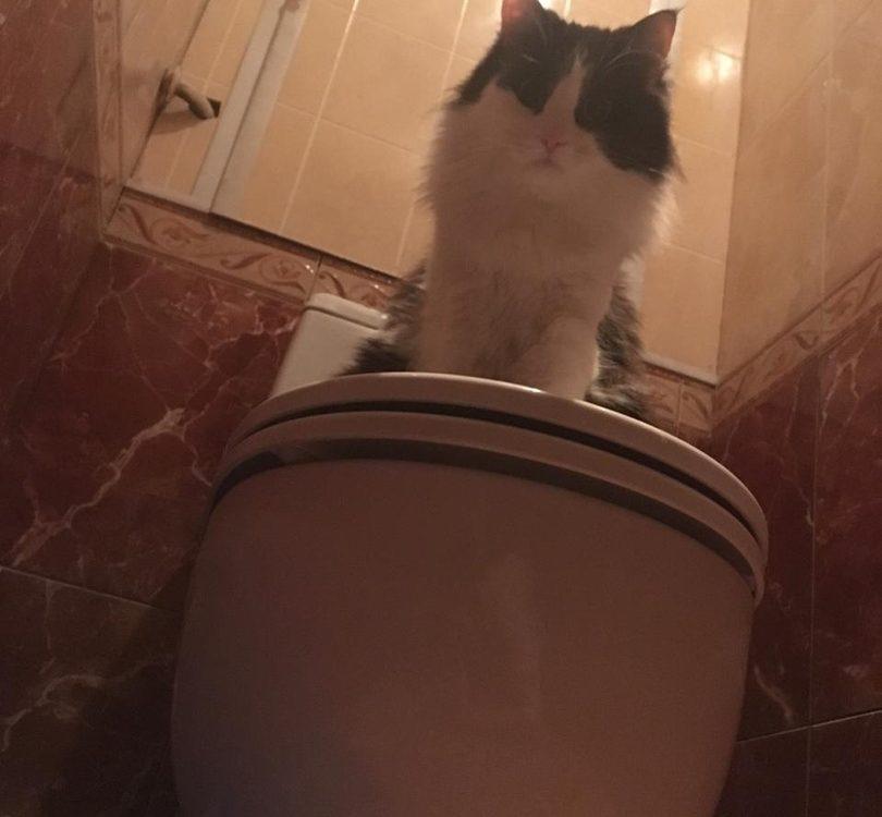 Как научить кота ходить в унитаз