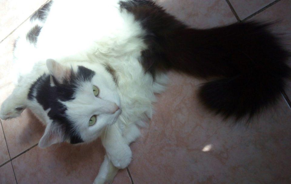 Воспаление параанальных желез у кота