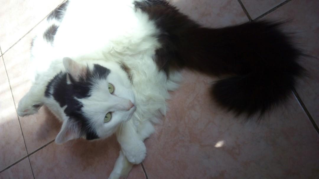 Параанальные железы у кошек: воспаление, чистка, лечение