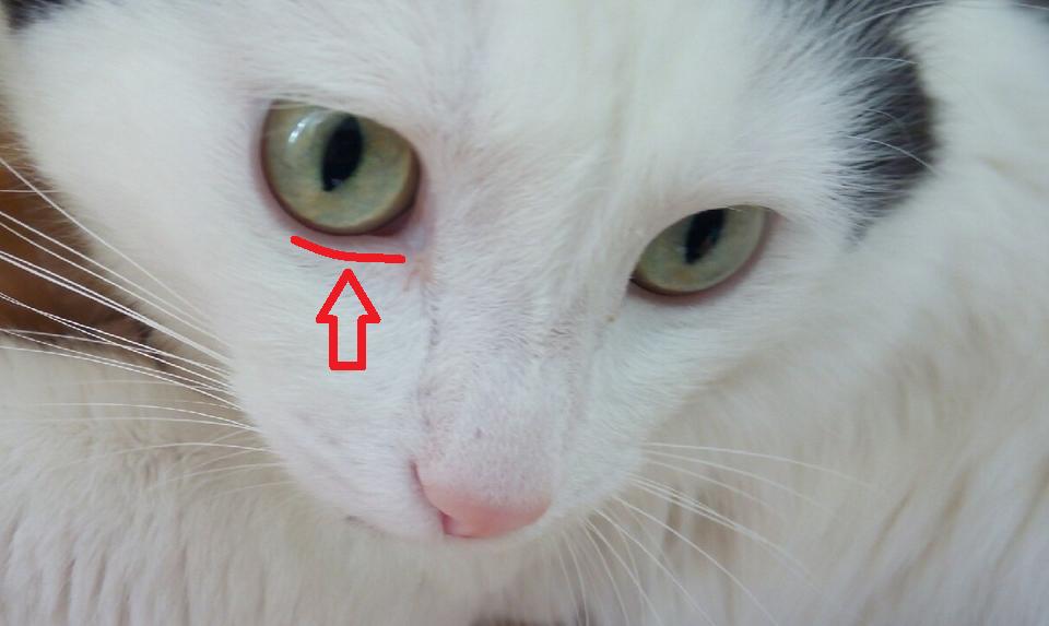 заворот век у кота
