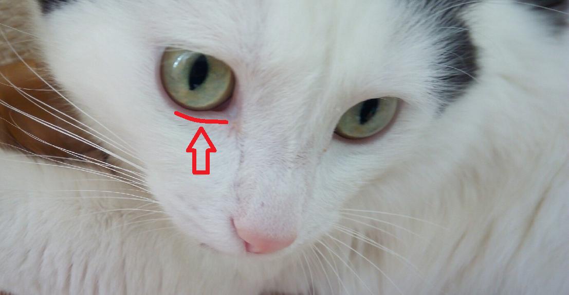 Что делать если у кошки заворот века