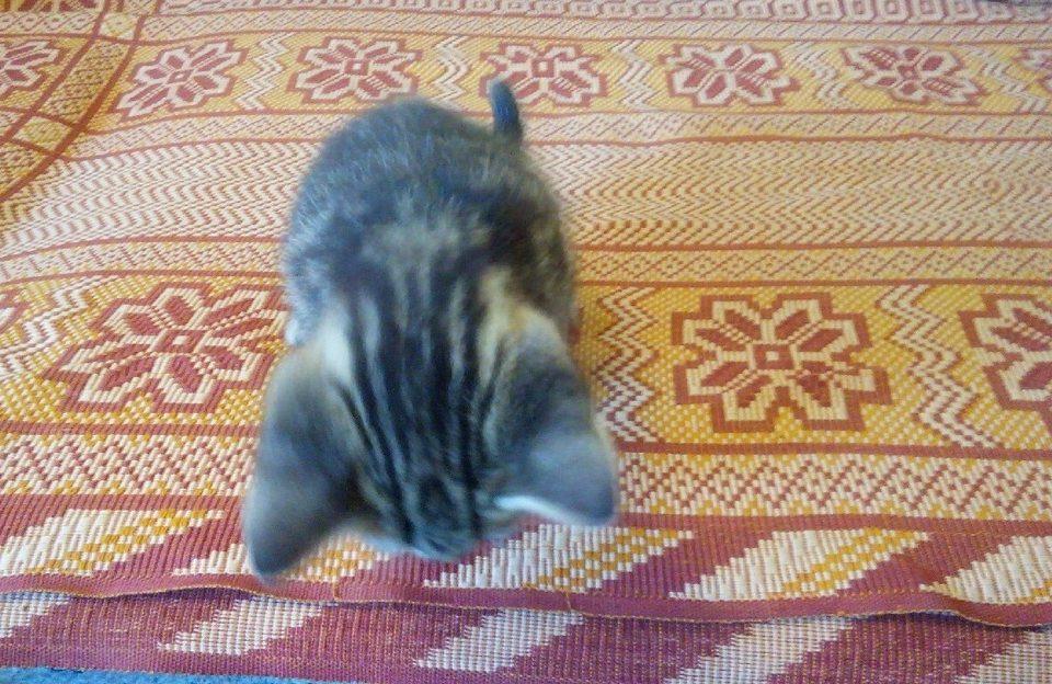 Кот ездит на попе по ковру
