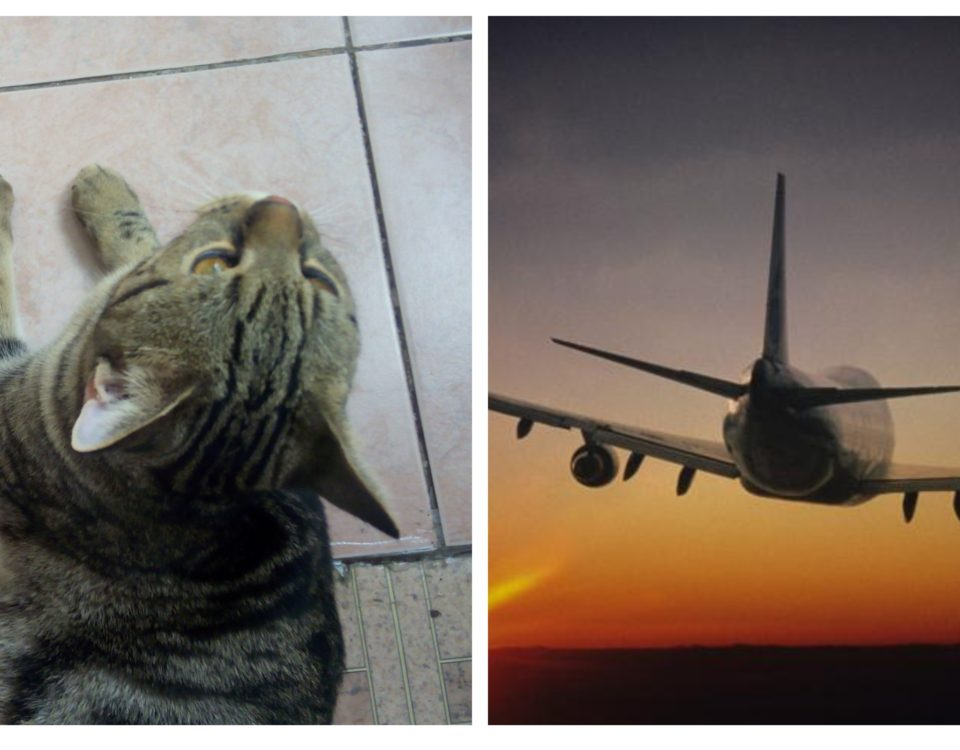 Как перевезти кота в самолете