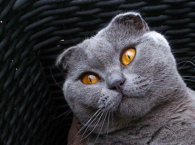 Как назвать вислоухого кота или кошку