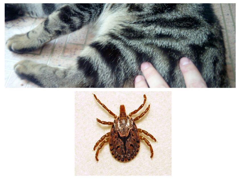 Как защитить кошку от клещей