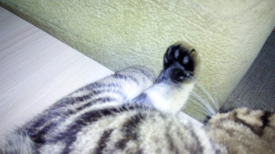 Кошка делает массаж лапками