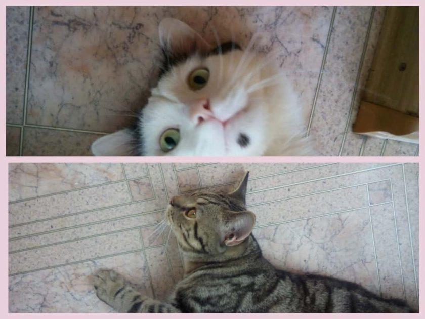 Как подружить двух котов в одной квартире