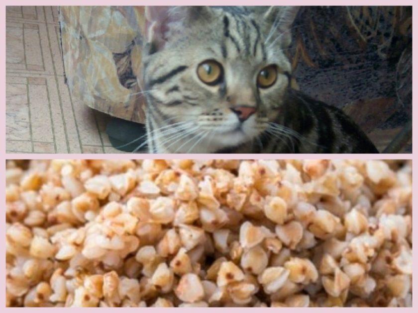 Можно ли кошкам гречку
