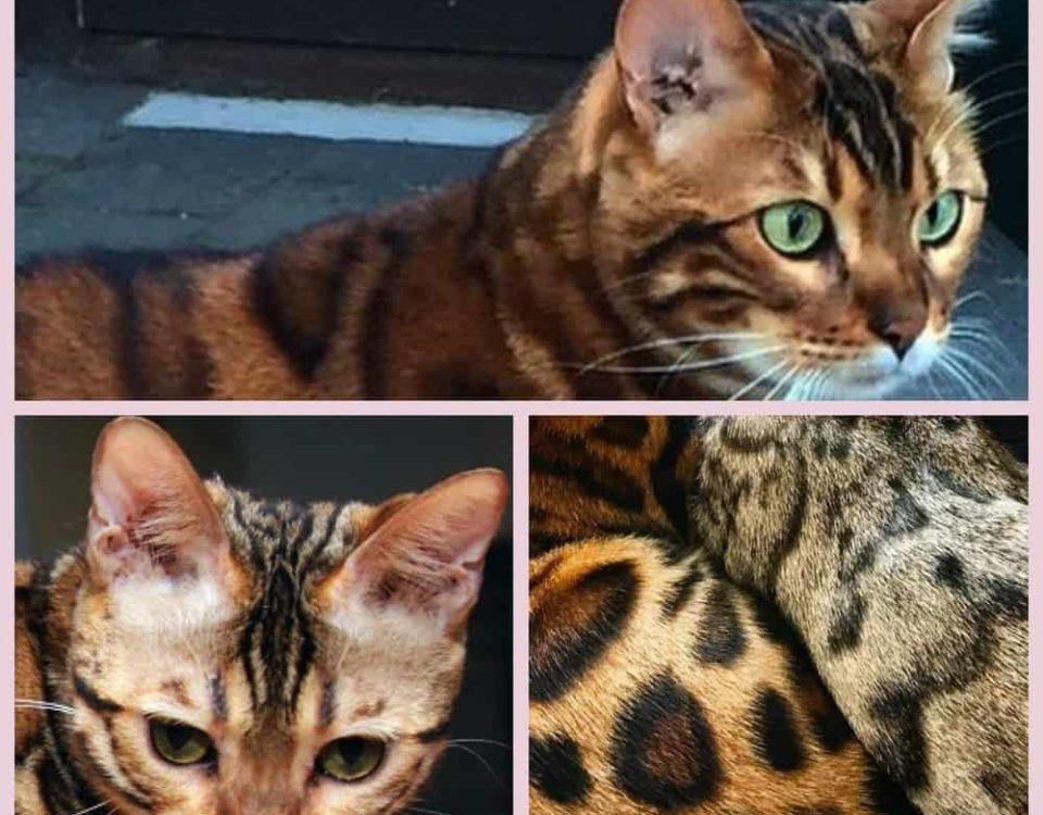 Как назвать бенгальскую кошку девочку