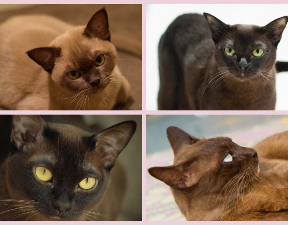 Сколько живет бурманская кошка