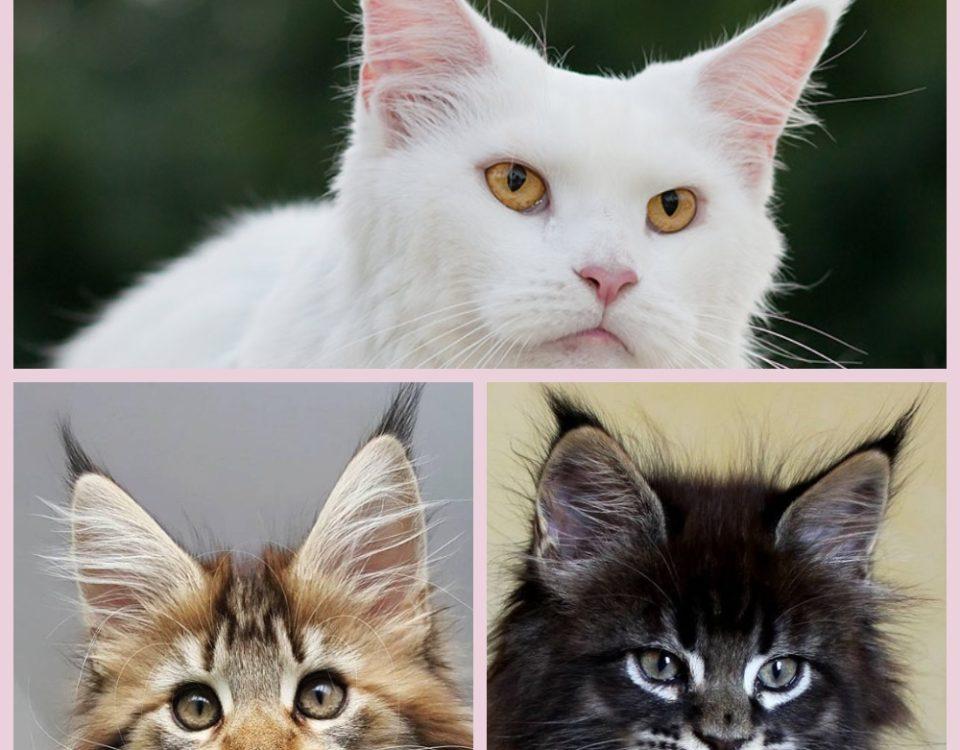Клички для кошек девочек мейн-кунов