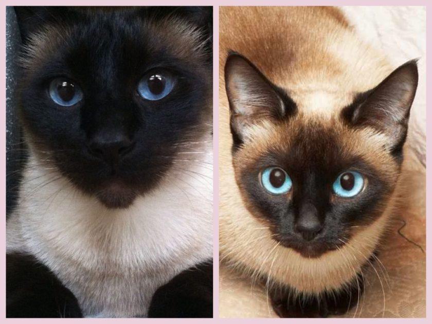 Чем отличается тайский кот от сиамского