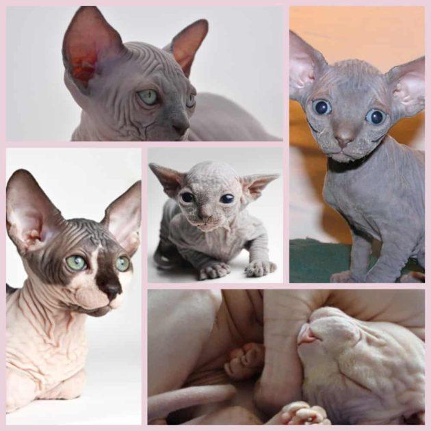 Кошка сфинкс характер и другие особенности породы