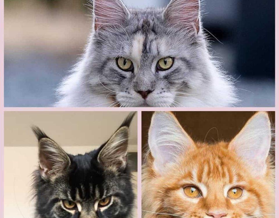 Мейн кун размеры взрослого кота и вес