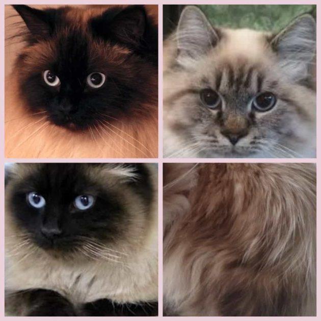 Кошка невская маскарадная характер и внешний вид