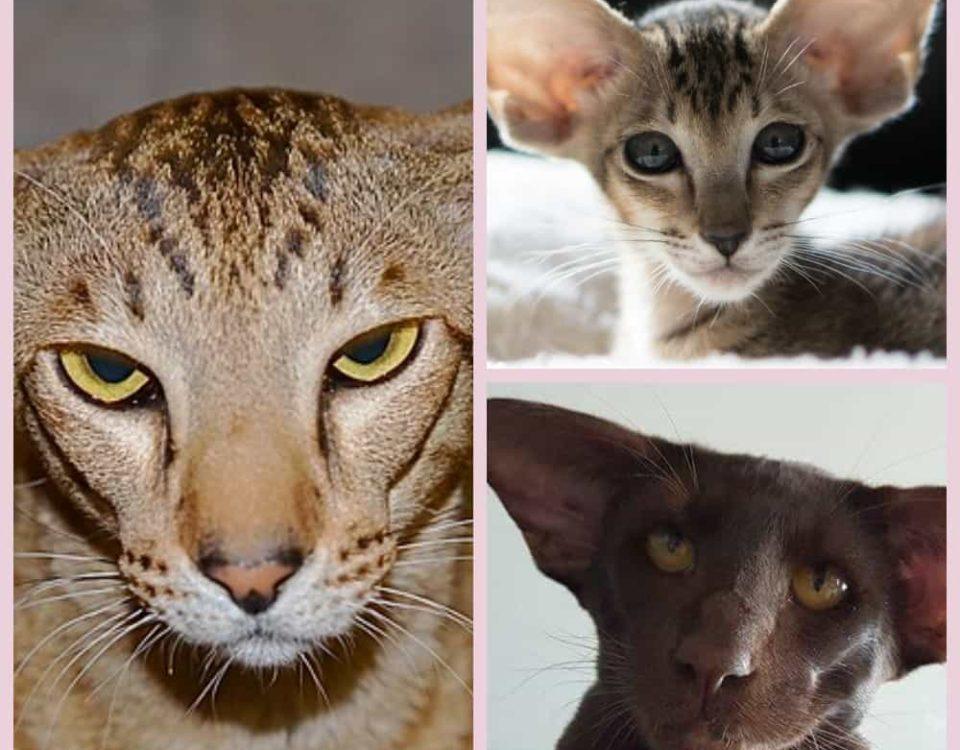 Ориентальная кошка описание породы и характера