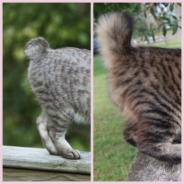 Бобтейл кошка характеристика породы и виды