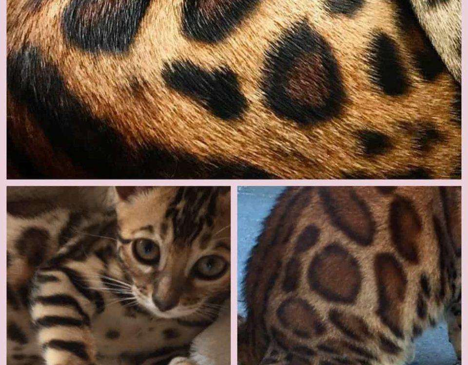 Бенгальский кот размеры и вес