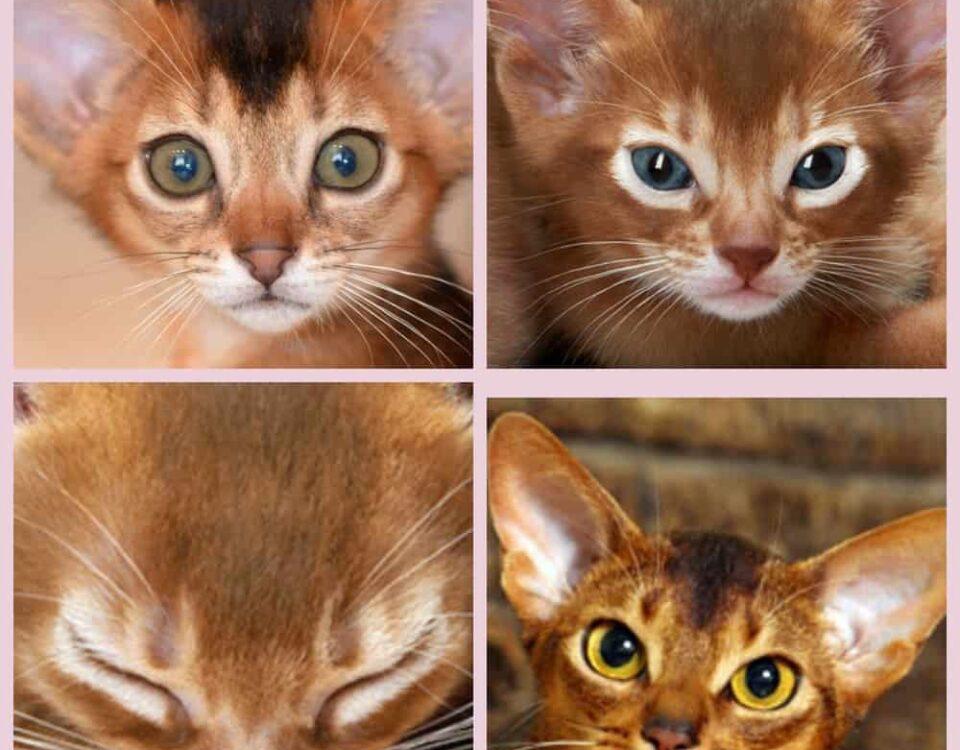 Интересные имена для абиссинского кота