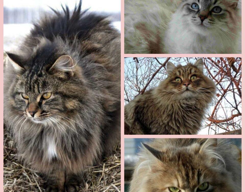 Сибирская кошка характер и другие свойства породы